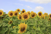 Field of sunflowers — Photo