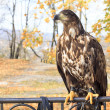 Stock Photo: Eagle at educational wildlife park keeps eye on visitors.