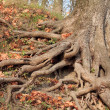 Large tree roots in park — Stock Photo #35502509