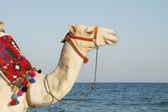 Velbloud na slunečné pobřeží — Stock fotografie