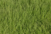 Green grass of the lawn — Stock Photo