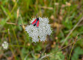 Red butterfly on a flower — Stock Photo