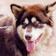 Malamute — Stock Photo #35862335
