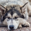Malamute — Stock Photo #35864463