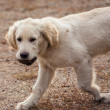 Golden Retriever — Stock Photo #35864657
