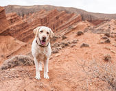 Dog in nature looks into the distance — Foto Stock