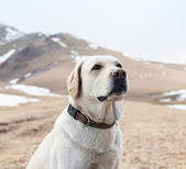 A man walks by Gore with labrador dog — Стоковое фото