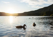 Forest lake with waterfowl — Stock Photo