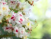 Aesculus hippocastanum — Stock Photo