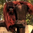 The orangutan shows teeth. — Stock Video