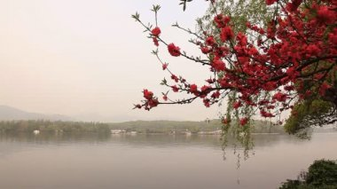 Branch of blossoming cherry. — Stok video