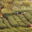 Stock Photo: Morning Tea Plantation