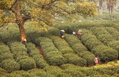 Morning Tea Plantation — Stock Photo
