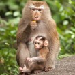 Macaque Cub — Stockfoto