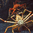 Claws Giant Crab — Stock Photo