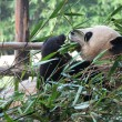 Bamboo Giant Panda — Stock Photo #39369935