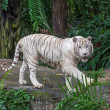 White Tiger — Stock Photo #39369997