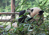 Bamboo Giant Panda — Stock Photo