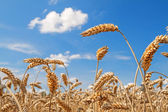Golden Ears of Wheat — Stock Photo