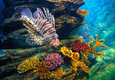 Lionfish Corals — Stock Photo