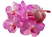 Orquídea rosa — Fotografia Stock