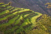 Spring Rice Terraces Sunrise — Stock Photo
