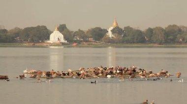 Amarapura Temples Birds — Stock Video