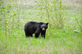 Black bear. — Stock Photo
