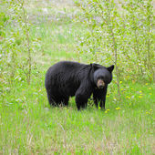 Black bear by Medicine lake. — Stock Photo