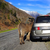 Mule stands by the car. — Stock Photo