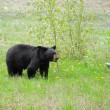 Stock Photo: Black bear.