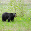Black bear. — Stock Photo #42397819
