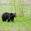Black bear. — Stock Photo