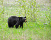 Black bear. — Foto Stock