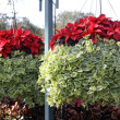Foto Stock: Poinsettias and Greenery