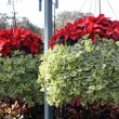 Foto de Stock  : Poinsettias and Greenery