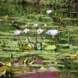 Water Lillies — Stock Photo #37126493