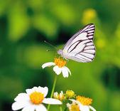 Papillon sur une fleur d'alimentation — Photo