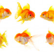 Gold fish. Isolation on the white — Stock Photo