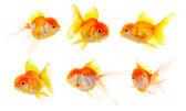 Gold fish. Isolation on the white — Stock Photo