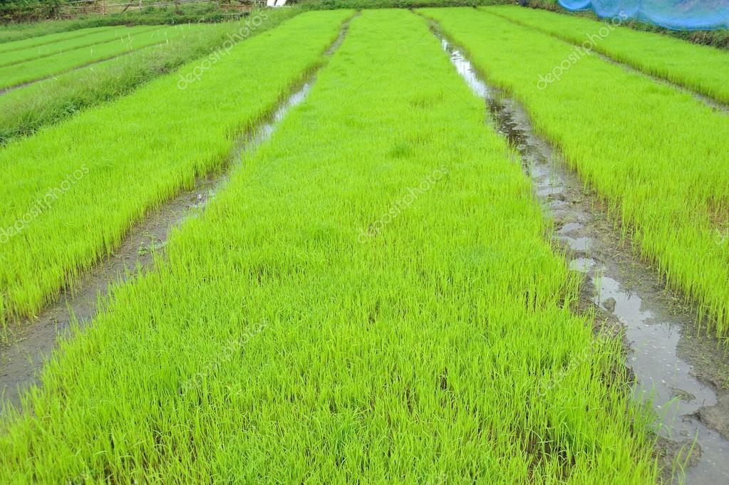 外地绿色水稻幼苗– 图库图片