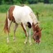 Beautiful Horse in a Green Meadow in sunny day — Stock Photo