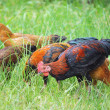 Cock on the farm, on green grass background — Stock Photo