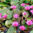 Постер, плакат: Mauve lotus flower blooming in the pond