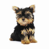 Yorkshire Terrier (2 months) in front of a white background — Stockfoto