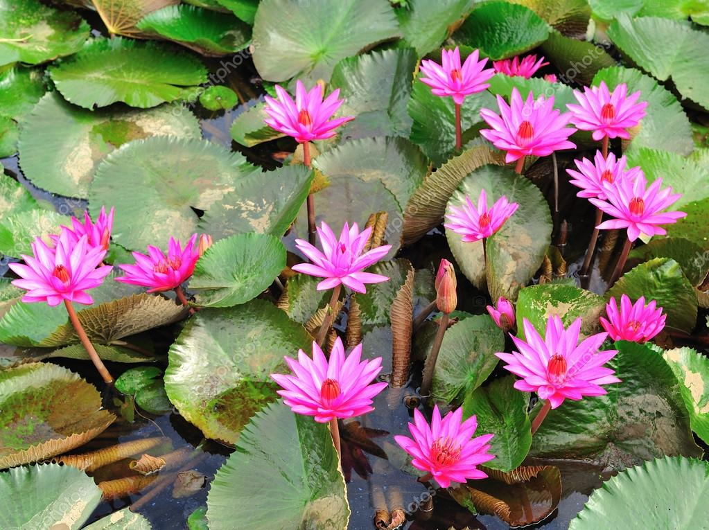 Mauve Lotus Flower Blooming In The Pond Stock Photo