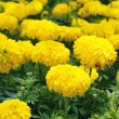 Background of yellow flowers. — Stock Photo