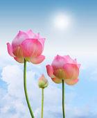 Lotus flower — Stok fotoğraf