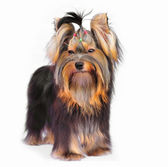 Yorkshire terrier on white background — Stock Photo