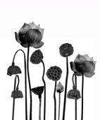 Lotusbloem in zwart-wit geïsoleerd op witte achtergrond. — Stockfoto